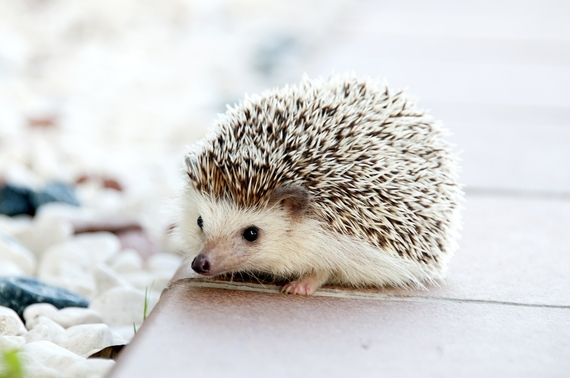 2015-12-06-1449428290-8911463-hedgehog.jpg