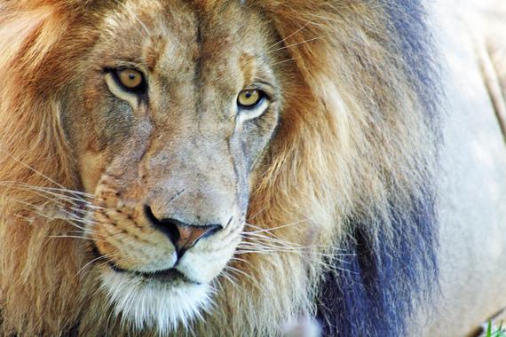 2015-12-09-1449698987-3446041-lion.jpg