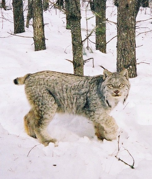 2015-12-27-1451249645-7809130-Lynx_timothy_catton_USDA.jpg
