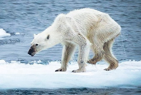 2015-12-28-1451340846-2552946-polarbearstarvinga570Aug2015notuncommonsightsaysCreditKerstinLangenbergeratFacebookccr295.jpg