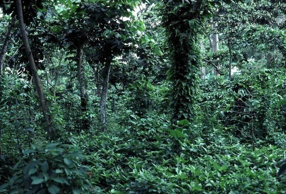 2015-12-31-1451580662-9479614-Shade_grown_coffee_in_Guatemala.jpg