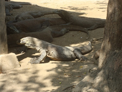 Jaws, Section II -- Komodo Dragons: Animal Planet on the ...