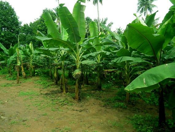 2016-01-06-1452047700-2187530-bananatreeskeralaIndiaCreditRameshNgatcommons.wikimedia.orgccr310.jpg