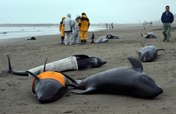 2016-01-18-1453093993-7731319-160deaddolphinsJapanwhitelungsradiationpoisoningDrReeseHaltercopy.jpg