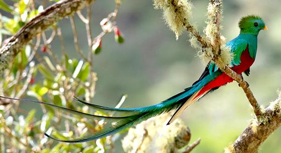 2016-01-19-1453242193-6245818-beautifulbizarrequetzalbirdaCostaRicaSourceneotropical.birds.cornell.educcr312.png