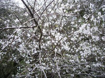 2016-01-26-1453792566-3071671-floweringtreeunpruned580x435.jpg