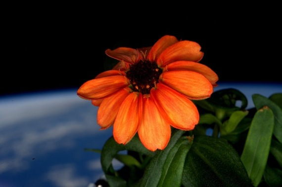 2016-01-26-1453831245-4756484-thezinniaisthefirstflowerevertobloominspace.jpeg