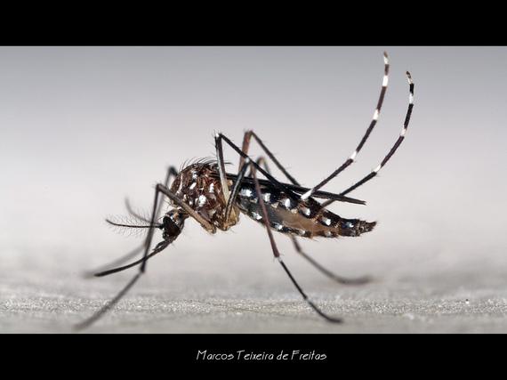 2016-01-29-1454075143-3688677-Aedes_Stechmcke_Marcos_Freitas_CCBYNC2.0.jpg