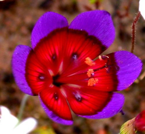 2016-02-02-1454441406-4650688-Geissorhizaradiansafricanflowerwildflower.jpg