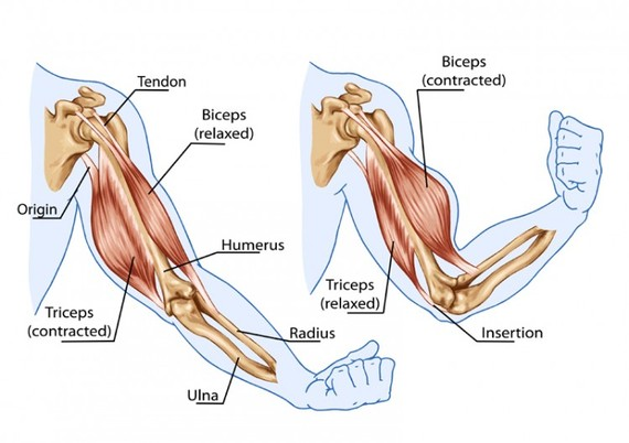 The Biceps Tendon A Mistreated And Misunderstood Friend Huffpost
