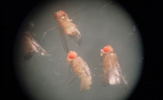 2016-02-15-1455516818-2819283-FRUITFLIES.PNG