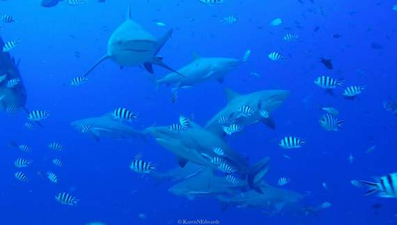 2016-02-15-1455518405-1603141-COPYRIGHT_KarenEdwards_Fiji_SharkDive.JPG