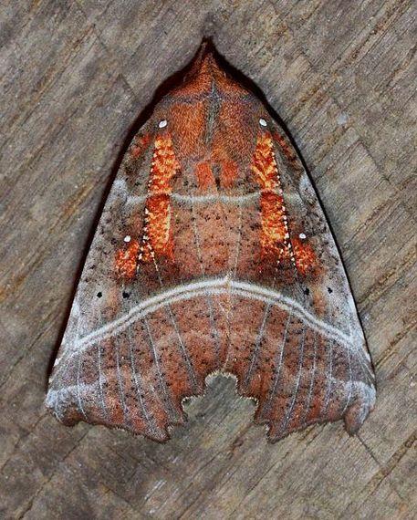 2016-02-17-1455717775-8394048-Scoliopteryx_libatrix__Herald_Moth_13907969163.jpg