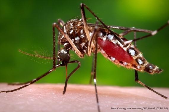 2016-02-18-1455803644-7605435-Foto_Chikungunyamosquito_CDCGlobalCCBY2.0.jpg