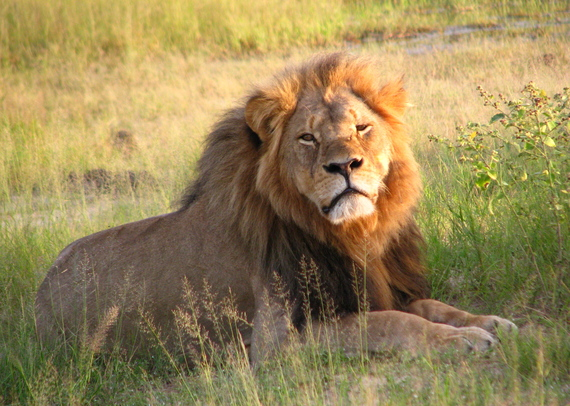 2016-02-19-1455861492-4565543-Cecil_the_lion_at_Hwange_National_Park_4516560206.jpg