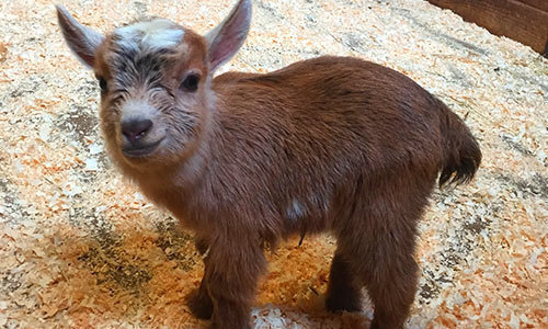 2016-02-25-1456393814-1606338-goat.jpeg