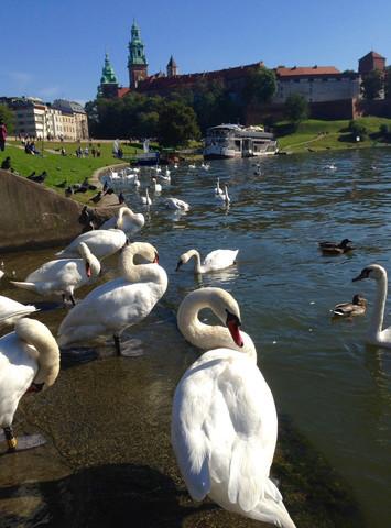 2016-03-05-1457193538-3196238-swans9.jpg