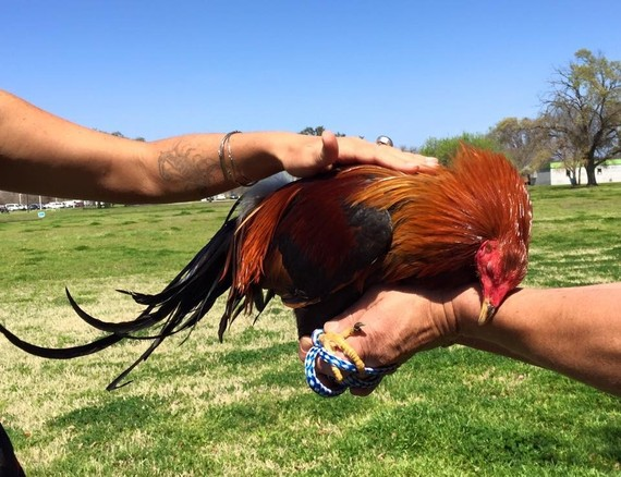 Image result for pictures of cuddling roosters