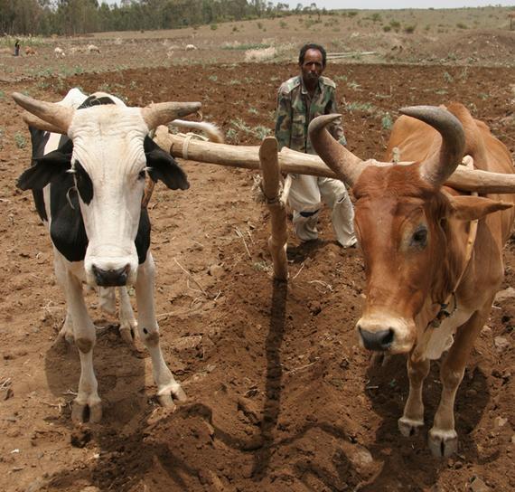 2016-03-11-1457709307-3774674-cattle_600.jpg