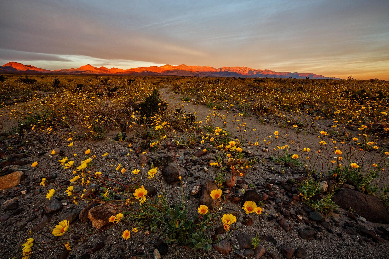 """Death Valley Wildflower """"Super Bloom"""" 2016"""