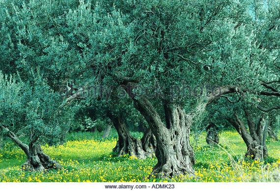2016-03-18-1458267308-340187-olivetreeoleaeuropaeaplantationadmk23.jpg