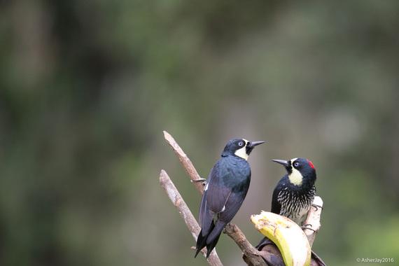 2016-03-20-1458510471-8836795-BirdloveAcornWoodpeckersMaleFemaleAsherJay.jpg
