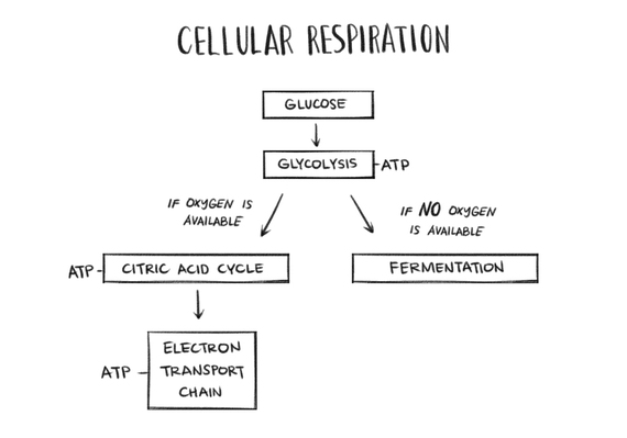 2016-03-22-1458655016-1440613-CellularRespiration.jpg