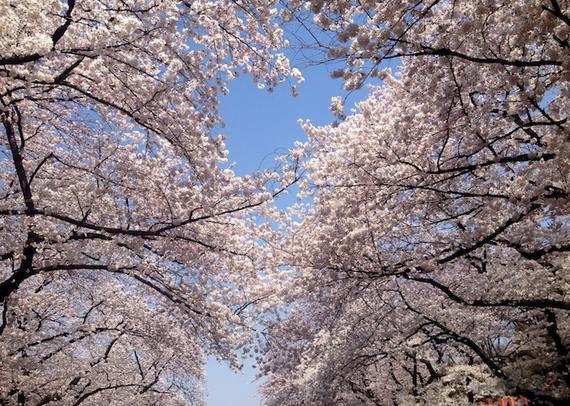 2016-03-22-1458678769-3124471-cherryblossomsky.JPG