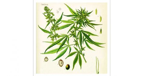 2016-03-28-1459194711-9667191-BotanicalCannabis.jpg
