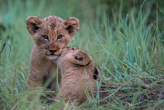 2016-03-30-1459368996-6457200-Lion28.jpg
