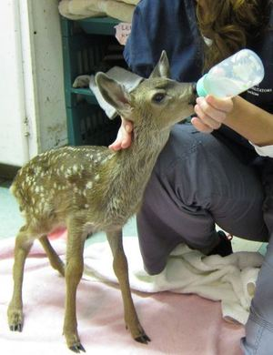 Fawn in care at WildCare. Photo by Alison Hermance