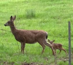 Black-tailed Deer and fawn. Photo by Alison Hermance