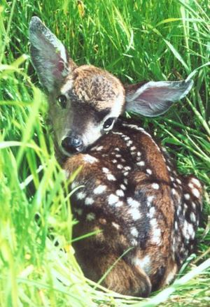 Camouflaged fawn. WildCare photo
