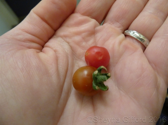 2016-04-22-1461361978-5453315-tinytomatoes.JPG