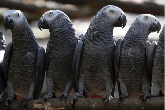 2016-04-23-1461441705-530440-AfricanGreyParrots.png