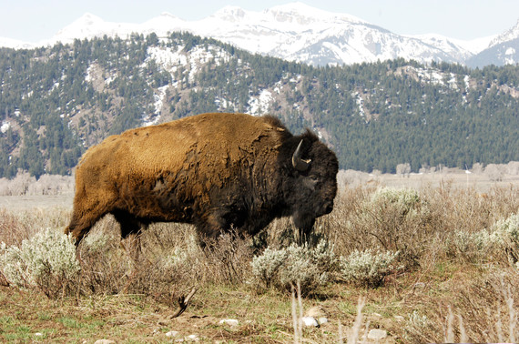 The American Bison Bringing People Together And Bridging The