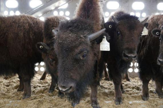 2016-04-27-1461765591-8451471-Elk_Island_bison.JPG