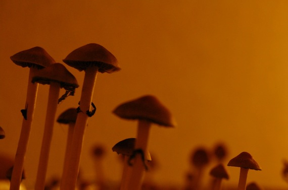 Images The Latest Prescription Psychedelics Idea? Treat Addiction With Magic Mushrooms 1 drugs