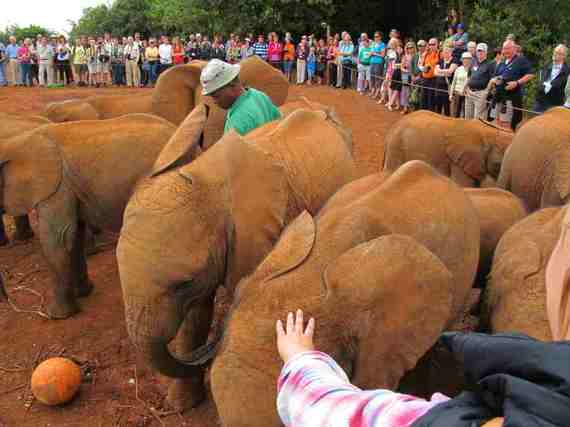 2016-05-02-1462206634-5966774-ElephantsOrphanedbyPoachingcopy.JPG
