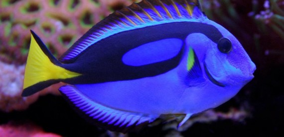 Want a dory look alike fish this is the perfect tank for Blue tang fish facts