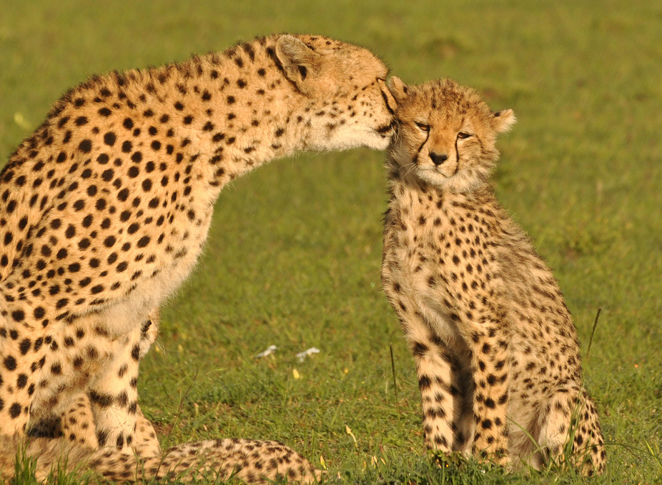 400 Cheetah Pictures & Images in HD