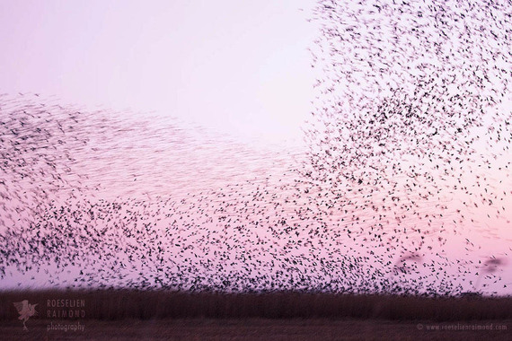 2016-05-09-1462778746-7122501-3_flock_starlings.jpg