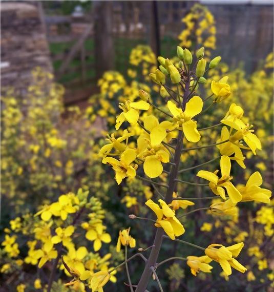 2016-05-11-1462955740-2538701-kaleflowersIMG_4740.jpg