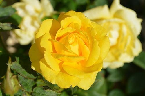 2016-05-12-1463074343-390840-yellowrose196393_640.jpg
