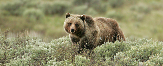 2016-05-13-1463160075-293412-Grizzly_Bear_NPS.jpg