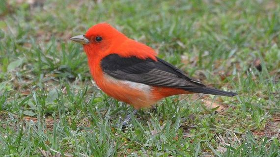 2016-05-16-1463423560-2961848-Scarlet_Tanager_andyreagochrissymcclarrenwikicommons.jpg