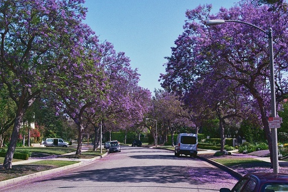 Beverly Hills Jacaranda Trees in bloom via HuffPost