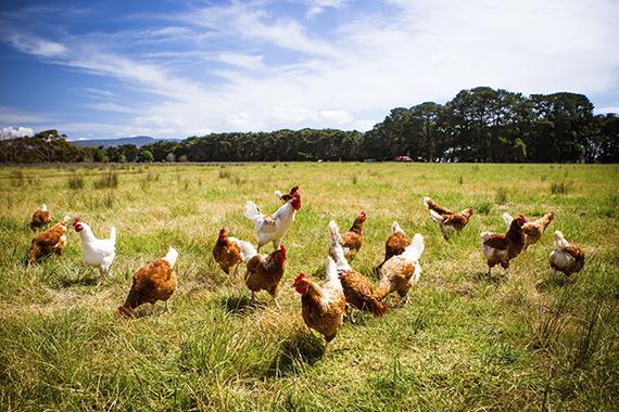 iStock photo of hens on pasture