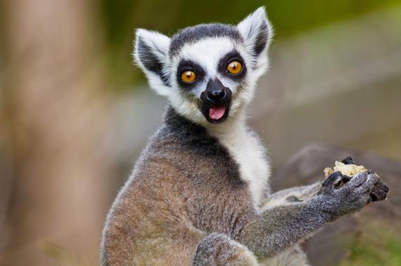 2016-05-24-1464068250-1348658-lemurs.jpg