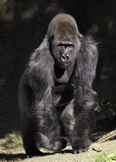 2016-05-29-1464540761-3953922-gorillaL.A.Zoo.jpg